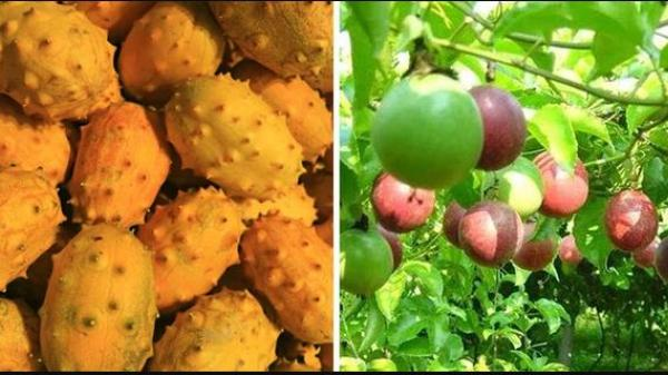 3 loại quả ở Việt Nam mọc dại đầy đường, sang nước ngoài thành của ngon vật lạ bán trong siêu thị gần 1 triệu đồng/kg