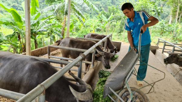 Tuyên Quang: Đàn trâu về 'đẩy' cái nghèo đi