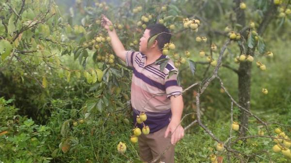 Thời tiết xấu, hồng Bảo Lâm thiệt hại 60%
