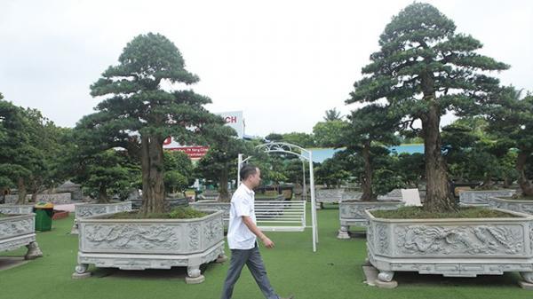 """Cây tùng """"lạ"""" ở Thái Nguyên có gì mà khiến đại gia phải vác bao tải tiền đến mua cây?"""