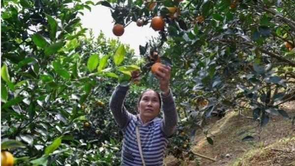 Đưa giống cam nổi tiếng về trồng, dân Thanh Hóa 'đổi đời' thu hàng chục triệu đồng