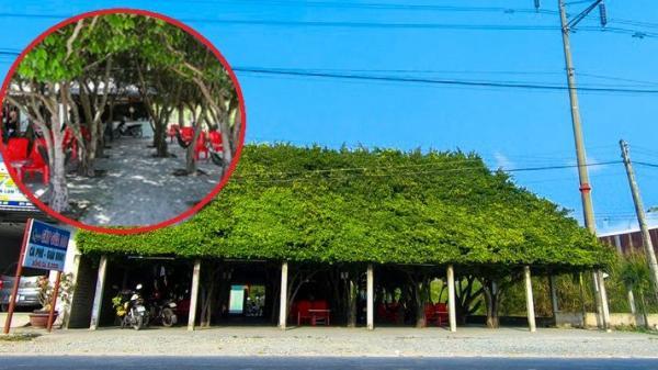 Độc đáo quán cà phê được tạo từ 30 cây si mát như phòng máy lạnh ở Miền Tây